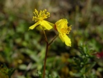 Hoary Rock-Rose (Helianthemum oelandicum)